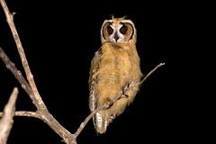 Striped Owl (Asio clamator) - juvenile (Rodrigo Conte) Tags: pseudoscops clamator rhinoptynx pseudoscopsclamator rhinoptynxclamator coruja corujaorelhuda striped owl asio juvenile asioclamator jovem strigidae ave bird brasil brazil brasilia brasilemimagens fantasticnature