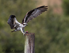Osprey - IMG_1878-2 (arvind agrawal) Tags: nest wildlife slough raptors osprey birdofprey pandionhaliaetus fisheagle fishhawk seahawk riverhawk