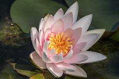 Berlin-Marzahn, Grten der Welt, Chinesischer Garten: Seerose - Water lily (riesebusch) Tags: berlin marzahn chinesischergarten grtenderwelt