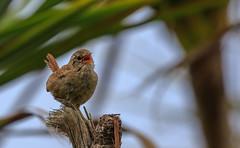 7D2L5890 (ndall) Tags: birds wren scilly tresco