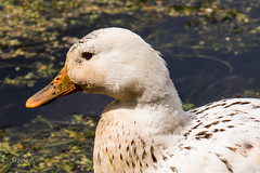 Just a pretty duck...... (Sue_Shaw) Tags: bird canon duck wildlife feather canoneos birdlife 24105l canon80d