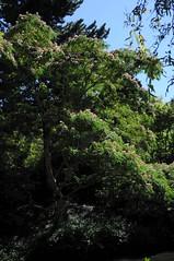 Blhender Seidenbaum (Albizia julibrissin); Vancouver, Dr. Sun Yat-Sen Park (11) (Chironius) Tags: flowers trees canada flower tree fleur vancouver rboles blossom britishcolumbia flor rosa boom arbres rbol fabaceae fiore albero blte bume arbre rvore baum trd kanada blten baumblte aa     fabales rosids  hlsenfrchtler schmetterlingsbltenartige fabids