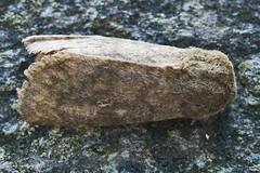 2229-_MG_2813 Brindled Ochre (Dasypolia templi) (ajmatthehiddenhouse) Tags: brindledochre dasypoliatempli dasypolia templi noctuidae xyleninae 2014 islay cuculliinae moth