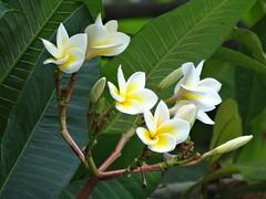 white flowers on the tree (oneroadlucky) Tags: white plant flower nature 花 自然 植物 白色 雞蛋花 plumeriaobtusa