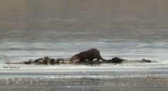 Isle of Skye Holiday (@JBOccyTherapy) Tags: travel sea holiday skye nature water landscape mammal island coast scotland photographer wildlife scottish highland otter isle