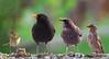 Dos pájaros de un tiro... y otros dos más (miguelangelortega) Tags: naturaleza nature water animal agua nikon aves 300mm pájaros sparrow blackbird warbler commonchiffchaff phylloscopuscollybita pájaro rocksparrow ltytr2 ltytr1 ltytr3 mosquitercomú picafollascomún blackbirdmale blackbirdfemale