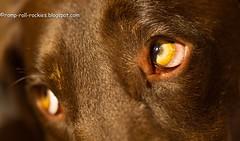 Peering (KB RRR) Tags: dog eyes chocolatelabrador shyla