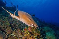 shark2Nov29-14 (divindk) Tags: ocean sea color shark eyes marine underwater tropical caribbean requiem predator reef graceful caymanislands grandcayman nurseshark westbay underwaterphotography blueocean grandcaymanisland ginglymostomacirratum cobaltcoastresort