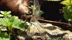 libellule d'automne (sergeb.) Tags: macro insecte libellule feuille