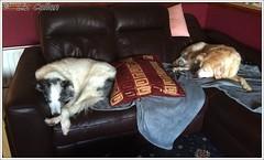 Ben and Sam working hard 241114 (Liz Callan) Tags: sleeping dog dogs friend warm labrador sam ben sleepy blanket cuddly resting bordercollie bestfriend settee readyforbed greyblanket lizcallan lizcallanphotography