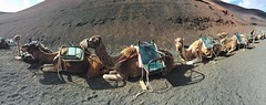 timanfaya park. camels (Alexey Tyudelekov) Tags: islands tenerife canary lanzerote