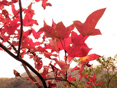 Red leaves (Leo Sin) Tags: canon hongkong discover 852