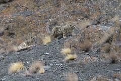 Snow Leopard (Baractus) Tags: india snow john leopard ladakh oates hemis safaris royle