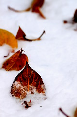 A. Baum, bekennender Herbstabhngiger, hebt sich immer ein paar Bltter fr den ersten Schnee auf. (Manuela Salzinger) Tags: schnee winter snow tree leaves leaf laub blatt bltter baum