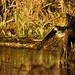 Sparrowhawk - RSPB Sandy