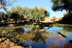 the olive's oasis (the rik pics) Tags: tree olive oasis morocco marocco albero olivo oasi