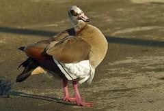 How Do I Look? (Joe Son Nguyen) Tags: california county orange bird water goose egyptian fowl