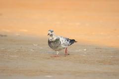 Bird dove (5alidn) Tags: red naturaleza bird nature germany natur uae list alemania tyskland allemagne bund duitsland rote liste snipe saxa الامارات البحر bekassine جميل بحر طير طيور طائر becacina