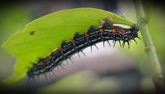caterpillar3 (aburayyan) Tags: park flowers plants nature beautiful flying wings nikon df colorful butterflies nectar fullframe nikkor fx dx