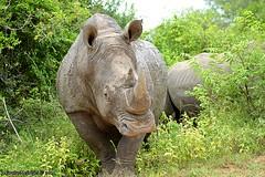 DSC_6118 (Arno Meintjes Wildlife) Tags: africa nature animal southafrica wildlife safari rhinoceros krugerpark arnomeintjes
