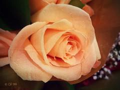 #pixlr #flora (CopperScaleDragon) Tags: flower flora pixlr