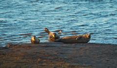 Seals at seal sands (n.wilkinson29) Tags: seal sands teeside