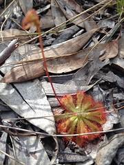 Drosera spathulata var. gympiensis (sarracenia.flava) Tags: park australia national queensland drosera spathulata mooloolah