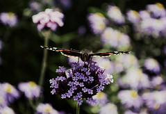 Schmetterling / Butterfly (Andreas Meese) Tags: flowers autumn plants nature colors butterfly nikon colours hamburg herbst natur blossoms pflanzen blumen farben schmetterling blten wilhelmsburg d5100