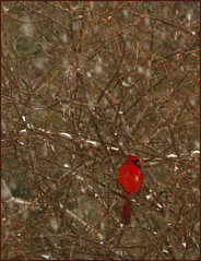 A Fire in The Winter (Photographic Poetry) Tags: winter bird fire seasons cardinal january