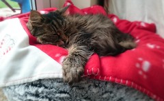 Tabitha the Cat (DudeWithACamera_) Tags: pet cats cute animal cat fur bed furry feline tabby pussy fluffy fluff whiskers blanket meow paws tabitha tab