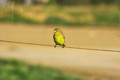 Chirihue (Pk13k) Tags: chile aves ave chileno paulodavalos pk13k