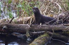 Mink; Mustela vison (urmas ojango) Tags: mink mammals mammalia mustelavison imetajad