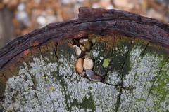 Hayling Winter (Olivia Darby) Tags: wood rust shingle haylingisland solent lichen groyne