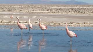 Flamencos en Salar de Atacama