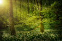 Woodland sunset (EosKid) Tags: trees light sunset england plants sunlight colour nature beauty forest woodland landscape evening countryside glow tranquility beamish garlic hdr 2016 coutnydurham ousbroughwood