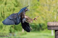 Grey Buzzard Eagle (parry101) Tags: bird nature birds animal animals grey for eagle centre international prey buzzard eagles buzzards icbp