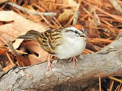 Chipping Sparrow (Spizella passerina) (Nature In a Snap) Tags: ocean park bird nature point dam wildlife birding nj beaver sparrow birdwatching pleasant chipping 2016 passerina spizella