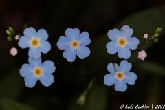 Myosotis sp. (Lus Gaifm) Tags: flower macro planta nature natureza flor galiza plantae touro boraginaceae myosotissp lusgaifm