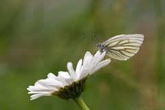 Witje (Anita van Rennes) Tags: butterfly vlinder witje