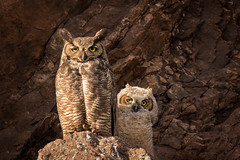 Great Horned Owls...Happy Mother's Day...EXPLORE (alicecahill) Tags: california wild usa baby bird animal wildlife explore owl centralcoast greathornedowl sanluisobispocounty droh dailyrayofhope ©alicecahill