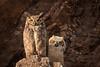 Great Horned Owls...Happy Mother's Day...EXPLORE (alicecahill) Tags: california wild usa baby bird animal wildlife explore owl centralcoast greathornedowl sanluisobispocounty droh dailyrayofhope ©alicecahill