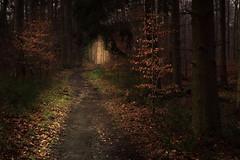 Snowless Winter (Netsrak) Tags: trees winter light tree leaves forest germany way landscape deutschland licht leaf woods path eifel nrw blatt landschaft wald bltter bume baum nordrheinwestfalen weg pfad forst snowless schneelos