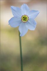 Narciso 16-2 (jumoga2011) Tags: flores flora catalunya narciso catalua tarragona flors silvestres poeticus canon7d jumoga2011