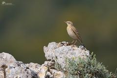 Calandro (Rob McFrey) Tags: sardegna nature birds natura uccello barbagia anthuscampestris calandro