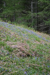 Bluebells coming out around Loch Lomand (nic0704) Tags: blue mountain climb scotland bell ben walk hill rocky hike ridge summit loch ptarmigan bluebell hillwalking lomand munro trossoch