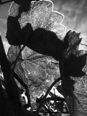 Licht und Schatten (Blende2,8) Tags: licht pflanze schatten wein