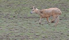 In flight (Wildlife Online) Tags: animal mammal wildlife deer whipsnadezoo invasivespecies cwd cervidae zsl chinesewaterdeer waterdeer cervid hydropotesinermis hydropotes britishdeer captivedeer ukdeer marcbaldwin wildlifeonline invasivedeer waterdeerrunning