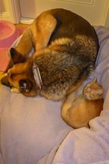 Greta & Mali (cupra1) Tags: dog pets cat feline shepherd somali mali germanshepherd pussycat somalicat greta gsd germanshepherddog