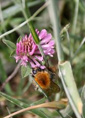 13-IMG_1876 (hemingwayfoto) Tags: blhen bombusagrorum feldhummel hummel insekt natur norddeutschland pflanze regionhannover steinhudermeer trifoliumpratense wiese wiesenklee