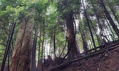 The trees towering above me (walneylad) Tags: park brown canada tree green june forest woodland moss spring woods rainforest britishcolumbia canyon trail trunk urbanforest northvancouver ferns westvancouver parkland urbanpark capilanoriver capilanoriverregionalpark